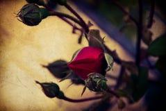 romantico rosso del fiore di Rosa della molla fotografia stock libera da diritti