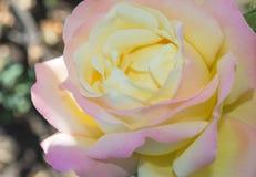 romantiker steg Royaltyfria Foton