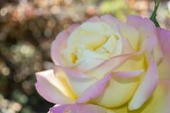romantiker steg Royaltyfri Foto