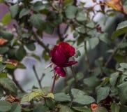 Romantiker steg med blad, den molniga dagen, slut upp Royaltyfri Bild