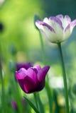 Romantique tulips Stock Image
