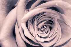 Romantisch stieg Stockbilder
