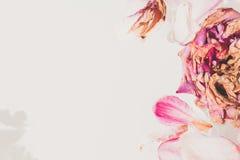 Romantische Abstraktion Blumenblätter von verwelkten Rosen auf weißem backgrou Lizenzfreie Stockbilder