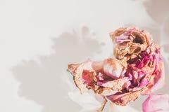 Romantische Abstraktion Blumenblätter von verwelkten Rosen auf weißem backgrou Stockfoto