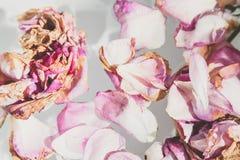 Romantische Abstraktion Blumenblätter von verwelkten Rosen auf weißem Hintergrund Stockfoto