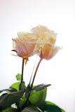 Romantische achtergrond met rozen Royalty-vrije Stock Foto