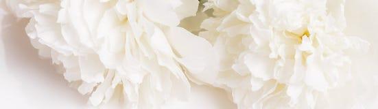 Romantische banner, het gevoelige witte close-up van pioenenbloemen Geurige roze bloemblaadjes stock foto's
