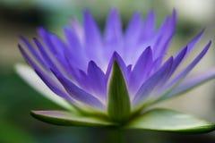 romantische blauwe lotusbloem stock fotografie