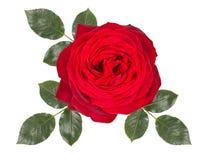 Romantische die rood nam bloem toe, op witte achtergrond wordt geïsoleerd stock foto's