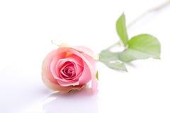 Romantische einzelne Rosarose Stockfoto