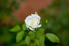 Romantische frische junge Knospenangebot-Weißrose Stockfoto