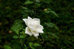 Romantische frische junge Knospenangebot-Weißrose Lizenzfreies Stockbild