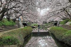 Romantische gangen onder de overwelfde galerij van de roze bloesems van de kersenboom royalty-vrije stock foto's