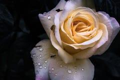 romantische geel nam met druppeltjes van water toe stock afbeeldingen