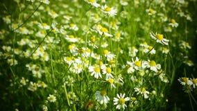 Romantische Kamillenblumen stock footage