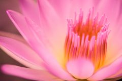 romantische kleurrijke lotusbloem stock afbeelding
