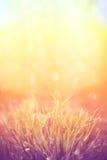 Romantische lavendelbloemen in zonsonderganglicht Stock Fotografie