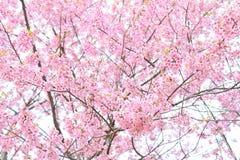 Romantische Mooie sakura van de kersenbloesem in de lentetijd over blauwe hemel Stock Afbeeldingen