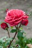 Romantische rosa pfirsichfarbene Rosenblumen- und -knospengartenarbeit Stockfotografie