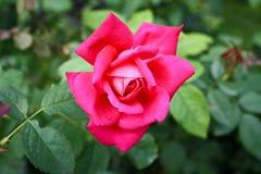 Romantische rosafarbene Blume Stockbild
