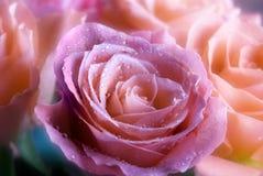 Romantische rozen Stock Afbeeldingen