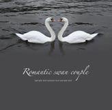 Romantische Schwanpaare Stockfoto