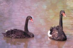 Romantische schwarze Schwäne des Vogels auf dem Wasser Romantisches Bild mit bokeh Effekt Stockfotografie