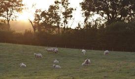 Romantische sheeps Stockfoto