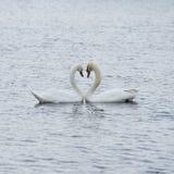 Romantische twee zwanen, Liefde Stock Afbeelding
