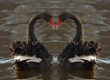 Romantische Zwanen Stock Afbeeldingen
