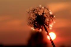 Romantischer Löwenzahn, der im Sonnenuntergang funkelt Stockfotos