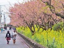 Romantisk bana av härliga Cherry Blossom, Sakura royaltyfria foton