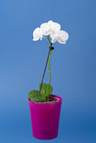 Romantisk filial av den vita orkidén Arkivbild