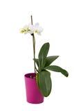 Romantisk filial av den vita orkidén Fotografering för Bildbyråer