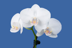Romantisk filial av den vita orkidén Royaltyfri Foto