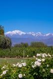 Romantisk plats med Tupungato Vulcan, vingård och rosor i lagning Royaltyfria Bilder