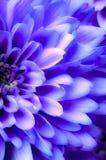 Romantisk purpurfärgad tusenskönakrysantemum Arkivbild