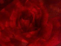 Romantisk röd ros med vattendroppe på plattan för glass spegel för abst Arkivfoton