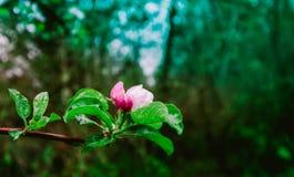 Romantisk trädfrunch som blomstrar med blommor och första knoppar, spr Royaltyfri Fotografi