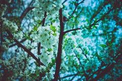 Romantisk trädfrunch som blomstrar med blommor och första knoppar, spr Arkivfoton