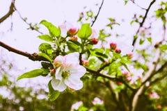 Romantisk trädfrunch som blomstrar med blommor och första knoppar, spr Arkivbilder