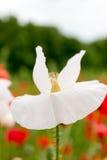 Romantisk vit blomma i blomning framåt av röda vallmo Arkivfoto