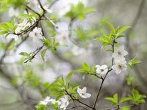 Romantisk vit blomning Royaltyfri Foto