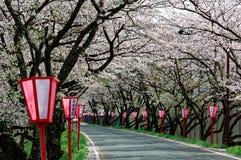 Romantiska rosa blomningar för körsbärsrött träd (Sakura) och lampstolpar för japansk stil längs en landsväg (suddig bakgrund Arkivfoto