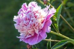 Romantiska rosa pioner i vårträdgård Arkivfoto