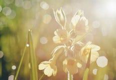 Romantiska suddiga vårblommor, primula, dagg och morgonljus arkivfoto
