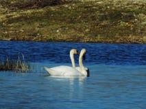Romantiska svanar i lagun arkivbild