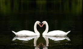 romantiska swans Fotografering för Bildbyråer