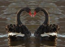 romantiska swans Arkivbilder