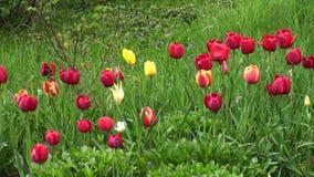 Romantiska tulpanblommor i trädgården stock video